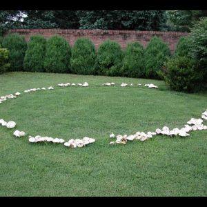 fairy ring mushrooms