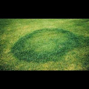 fairy ring grass disease