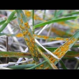 Grass Rust