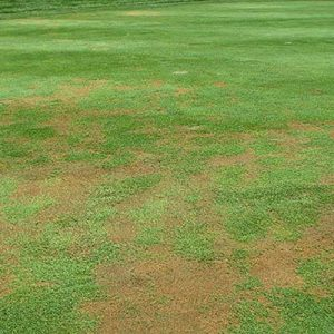 anthracnose lawn fungus