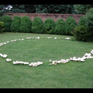fairy ring mushrooms