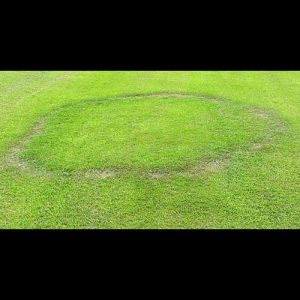 fairy rings on lawn