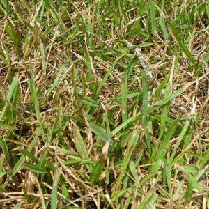 gray leaf spot lawn