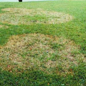 large patch turf disease