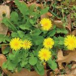 photo of dandelions weed in a lawn. Our weed control in warner robins will prevent dandelions from infesting your lawn!