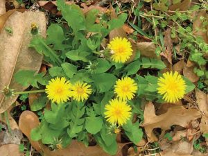 Dandelion Lawn Care Macon / Warner Robins