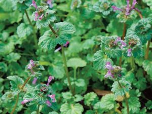 Henbit Lawn Care Macon / Warner Robins
