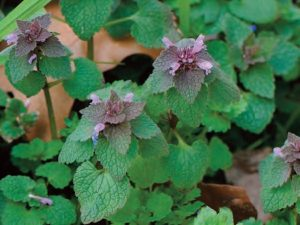 Purple Deadnettle Lawn Care Macon / Georgia