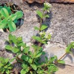 Photo of chickweed a common winter weed that can be killed with weed killer in macon and warner robins ga. Our lawn treatments will prevent and kill chickweed in your lawn