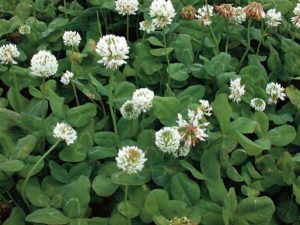 White Clover Lawn Care Macon / Georgia
